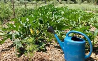 Правила полива кабачков в открытом грунте