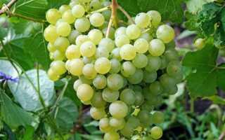 Выращивание винограда Ритон