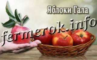 Сортовая характеристика яблони Гала