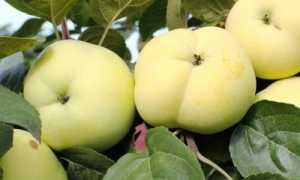 Яблочная дочка Папировка: описание сорта и свойств
