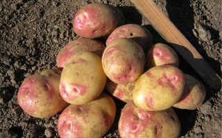 Характеристика картофеля сорта Пикассо