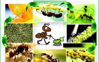 Как вывести муравьев из теплицы