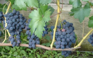 Описание сорта винограда Забава