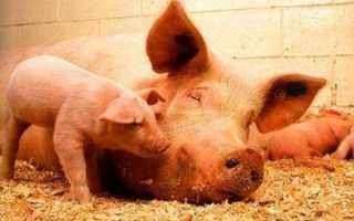 Причины высокой лихорадки свиней – клуб любителей поросят