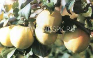 Сорт яблони Подснежник