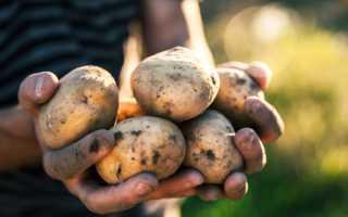 Характеристика картофеля сорта Зорачка