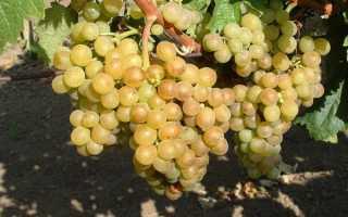 Описание Венгерского сорта винограда
