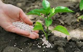 Чем и как подкормить рассаду перца для роста