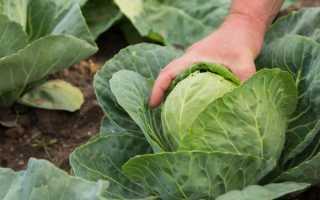 Полезные свойства молодой капусты