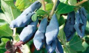 Нимфа жимолость: отзывы, фото, описание куста, выращивание, посадка и уход, опылители, размножение, обрезка