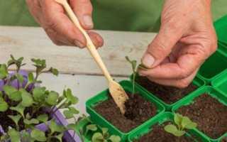 Оптимальная температура выращивания рассады капусты