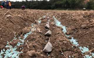 Правила внесения удобрения для картофеля весной и осенью