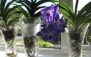 Правила выращивания орхидеи Ванда