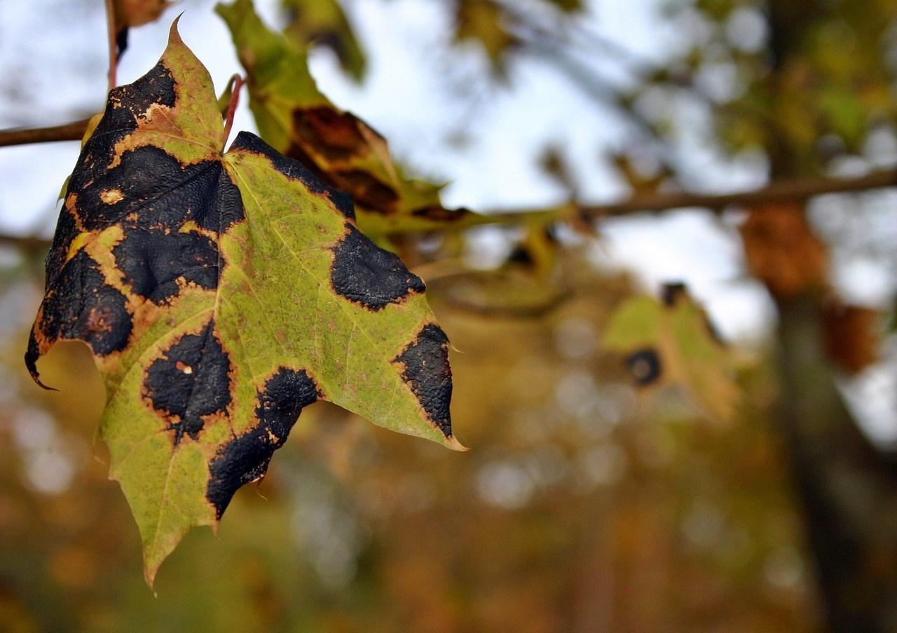 Дерево клен, описание, виды, где растет, использование, интересные факты – Удивительные факты